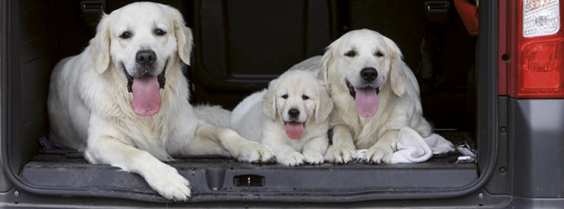 famille de golden retriever dans le coffre de la voiture
